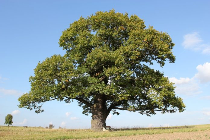 Typical Oak Tree
